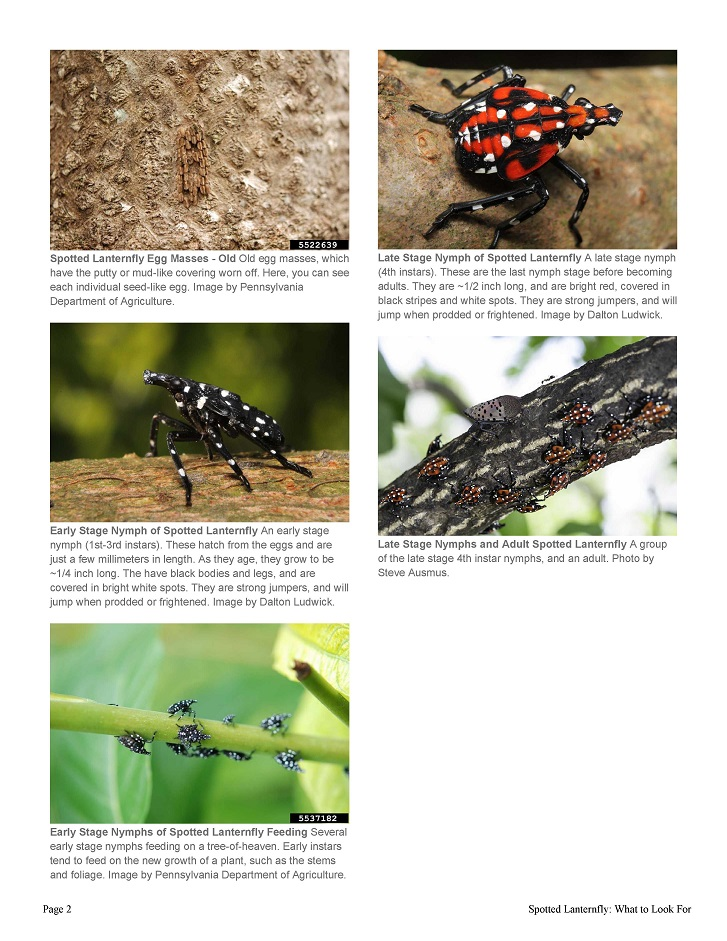 spotted-lanternfly-what-to-look-for_2